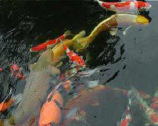 Waxhaw nc ponds we do it all low cost build water for Koi pond builders near me